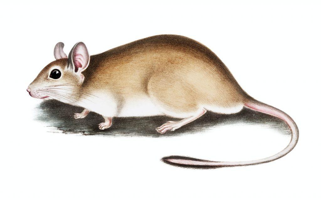 Mengulik Pertanda Hama Tikus Sedang Menyerang Rumah
