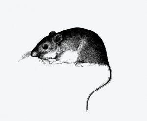 Yuk Simak Alasan Mengapa Harus Menggunakan Perangkap Tikus Lem Cap Gajah
